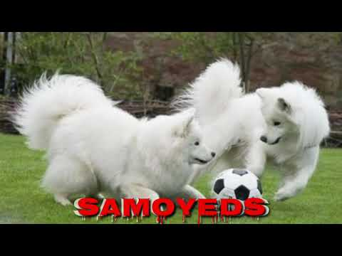 ShowLine Samoyed Puppies for Sale in India. Show Quality Samoyed Pups (Full White Teddy Bears)