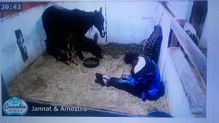 The Foaling Show • Stall 1 • Horse and Pony Live Cam