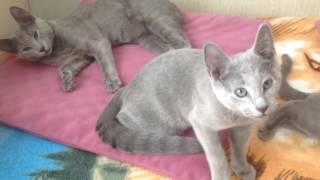 Русские голубые котята из питомника Ruzara