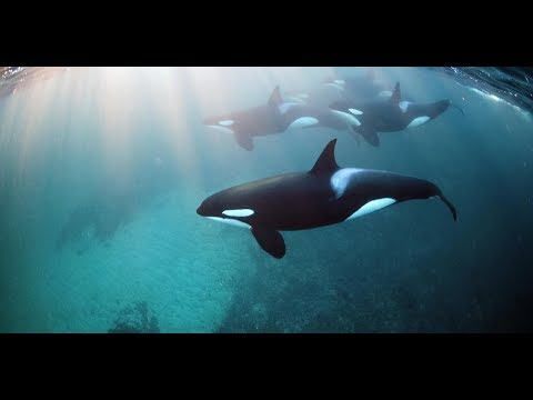 Killer Whales checkout Swimmers at Whytecliff Park in British Columbia