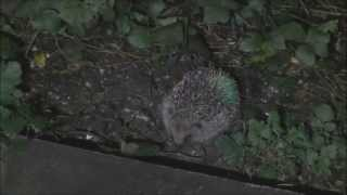 Western Hedgehogs Erinaceus europaeus three babies feeding