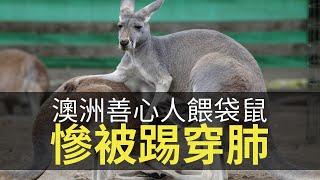 思浩大談澳洲善心人餵袋鼠慘被踢穿肺,奉勸各位唔好亂餵野生動物!(大家...