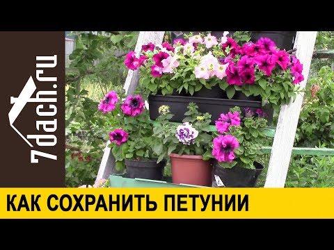 Как сохранить петунию до следующей весны