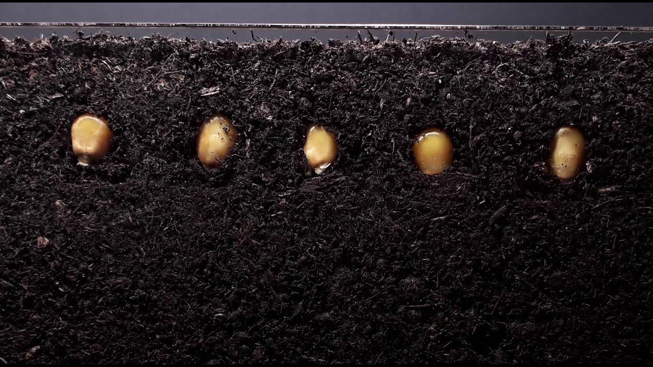 Download Corn time lapse - 12 days  - Plant time lapse series
