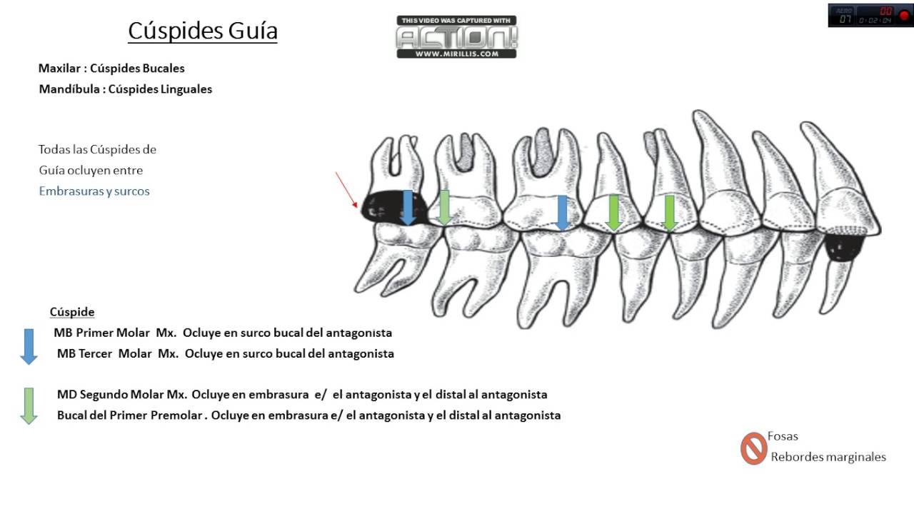 Oclusión Dental , Cúspides Guía , Movimientos Mandibulares Parte 1 ...