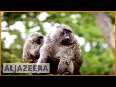 earthrise - Tales from Virunga: Mountain Gorillas in DR Congo