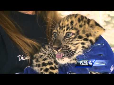 Pittsburgh Zoo's baby Amur Leopard gets first check-up
