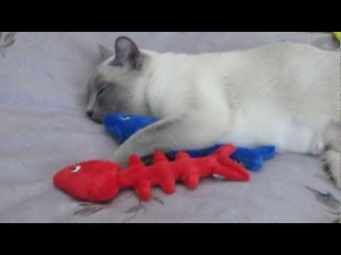 How to Wear Out Tonkinese Cats at Playtime (HD)