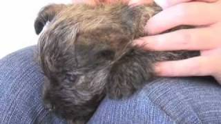 Cairn Terriers: Pros And Cons