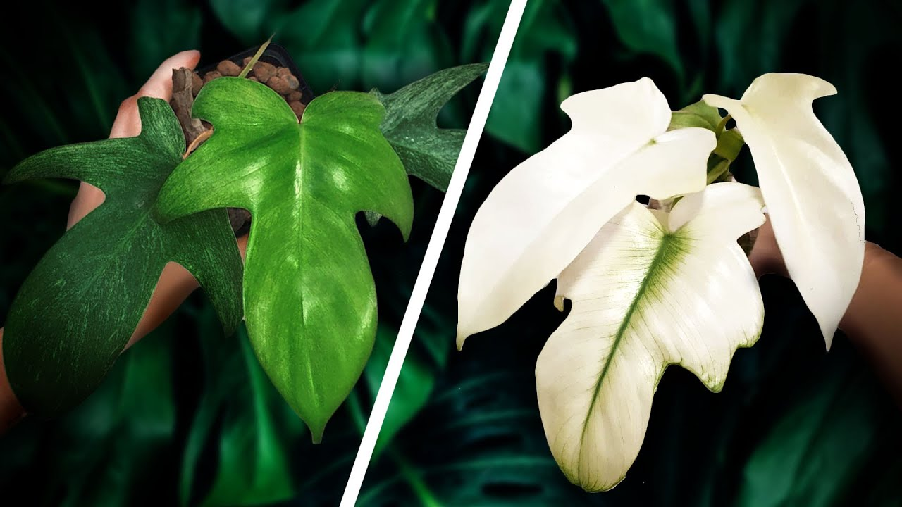 Make your Philodendron Florida Ghost WHITER! + Florida Ghost Mint Explained