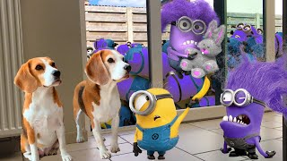 Best Of The Minions in Real Life Compilation 2Purple Minions living with Funny Dogs