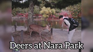 Red Trees and Cute Deers (Osaka Trip) Kobe Beef and Nara Park