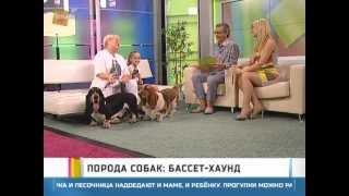 Порода собак: бассет-хаунд