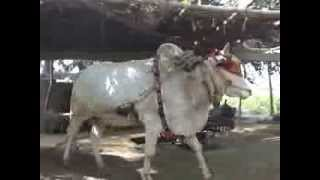Bull Fetching water from well at our farm house