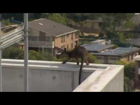 Wallaby rescued from car park ledge in Melbourne