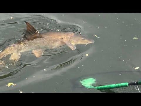 Ловля рыбы усач штекером