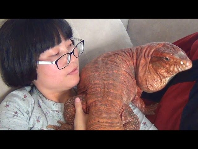 Living with a Giant Dog Lizard