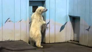 釧路市動物園のホッキョクグマのミルク。 眠たくてもそもそしていましたが、飼育員さんの気配に 気づき覗きに行くと、後ろで扉が開きました。 でも、今日はすぐに入ってい ...