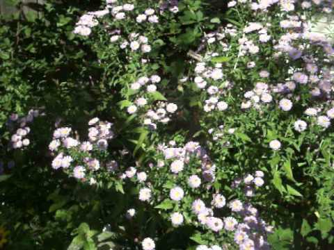 Bees love asters.  Support your local pollinator and plant flowers that attract bees.