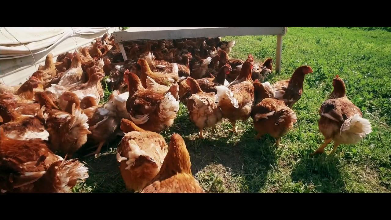 23+ Mary's Free Range Turkey Background