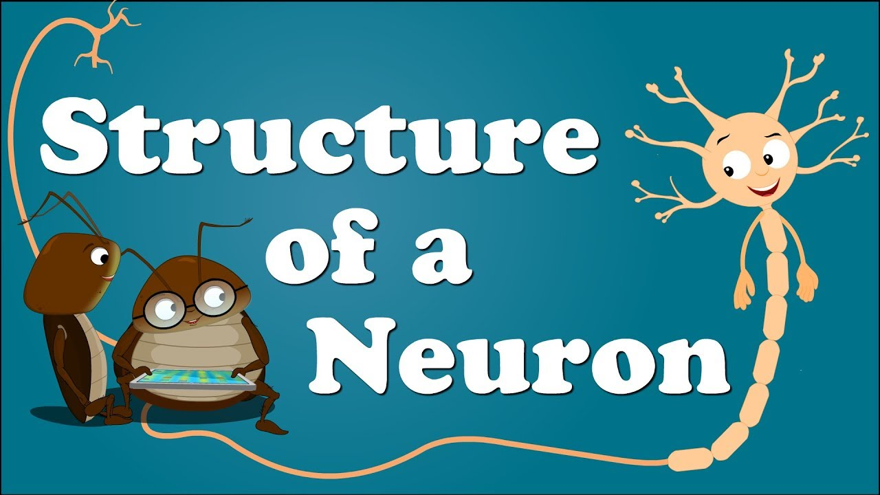 Structure Of A Neuron Aumsum Kids Education Science Learn
