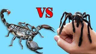 Emperador Escorpión VS Araña Gigante