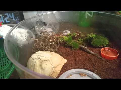 Red Eft newt setup