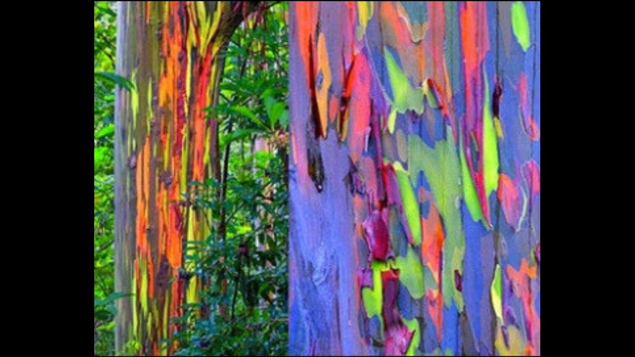 How to Grow Rainbow Tree Eucalyptus deglupta Mindanao gum seeds Part ...
