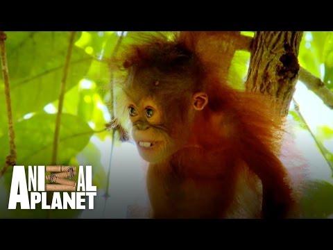Baby orangutan Peanut is too scared to climb!