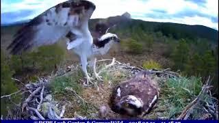 EJ suffers intruder, GJ comes to help when threat over ~ ©RSPB Loch Garten & Carnyx Wild