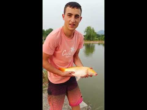Fishing gold carp in China, Hangzhou . Pescando una carpa dorada increíble en China, Hangzhou. CYS