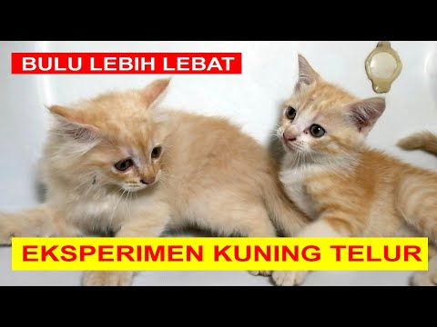 Eksperimen Kuning Telur Pada Anak Kucing Kampung | Cara Melebatkan Bulu Anak Kucing