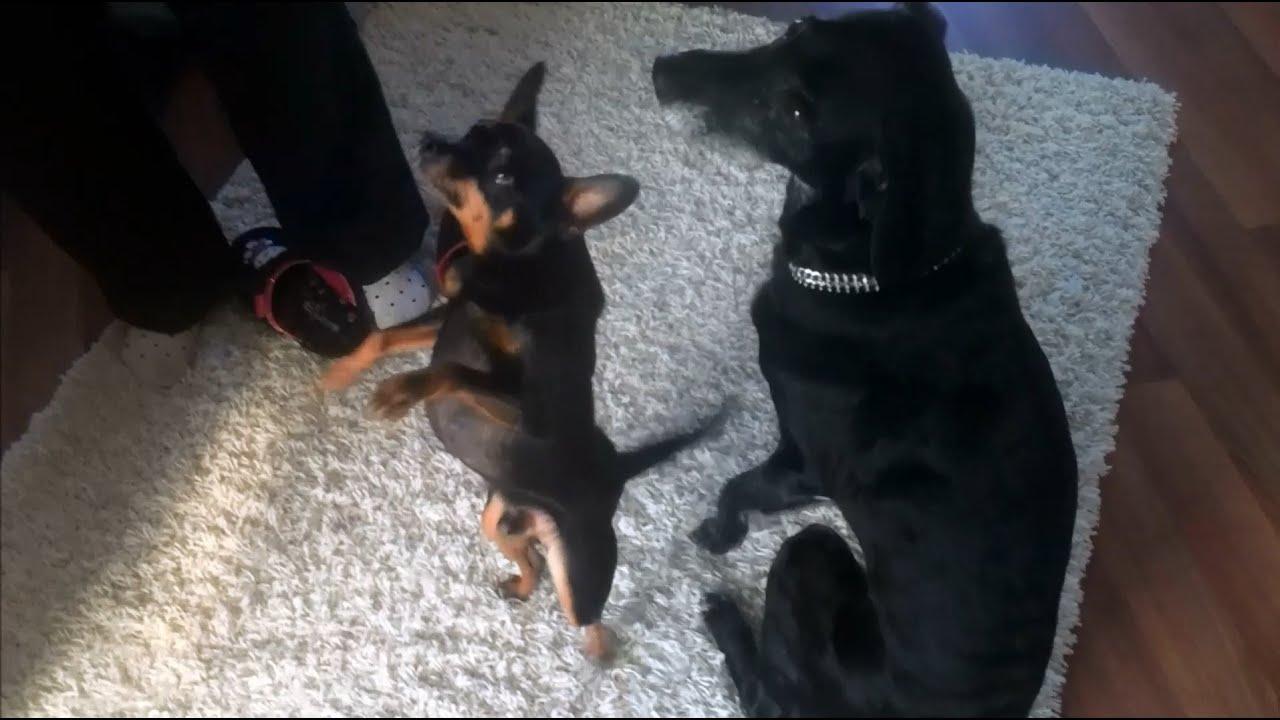 Süßer Hund bettelt um Essen lustig - Very Cute & Funny Dog ...