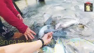#tiềnyoutube #chuyenla  Đàn cá tra kì lạ