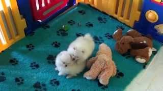 Pomeranian Zwergspitz Welpen 10 Wochen Alt