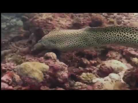 МУРЕНА ПРОТИВ МУРЕНЫ И ПРОТИВ АКУЛЫ - Moray Against The Moray And Against The Shark