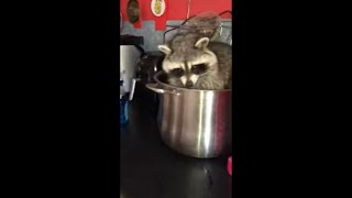 Racoon Enjoying His Stay in Cooking Pot While Mom Yells