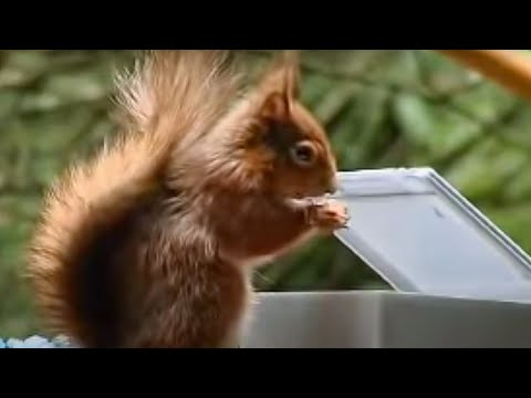 Red Squirrel extreme assault course - Clever Critters - BBC Animals