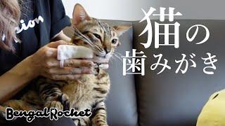 【歯みがき】意外と簡単⁉︎猫の歯磨き【ベンガルロケット♯111】