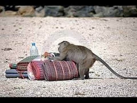 Funny Monkeys Stealing Things Compilation 2017 [NEW]