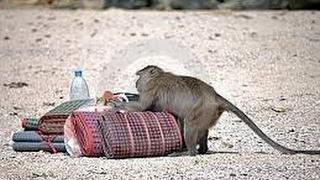 Funny Monkeys Stealing Things Compilation 2017 NEW