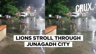 Viral Video Shows Pride Of Lions Strolling On Junagadh Street