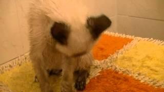 Котенок - меконгский бобтейл - урчит
