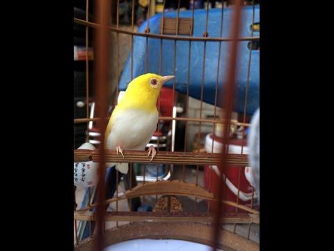 Chim Hoàng Khuyên Vị Xuyên- Hà Giang Đẹp xuất sắc giá 100 triệu