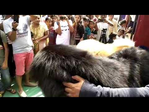 Simha kennels Top Dog Breeders in South India of verity Giant Dog Breeds