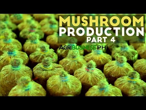 How to plant mushroom on substrate | Mushroom production Part 4 #Agribusiness