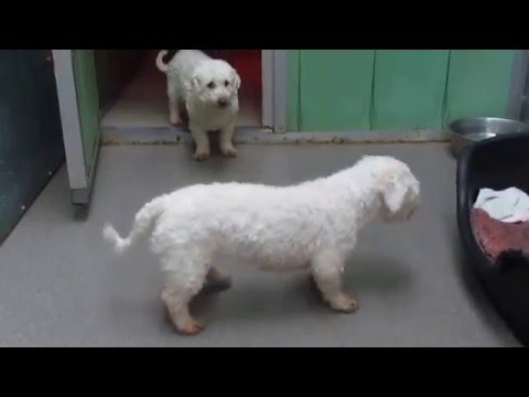 Dubai, Dunblane and Dippy at Many Tears Animal Rescue (Bichon Frise)