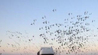 В Україні тривають голубині змагання