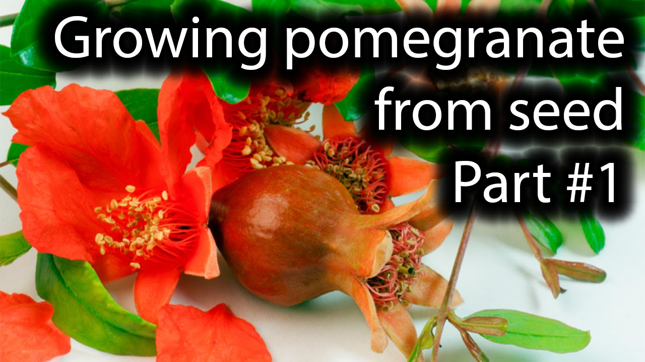 How To Grow Pomegranate From Seed Part 1