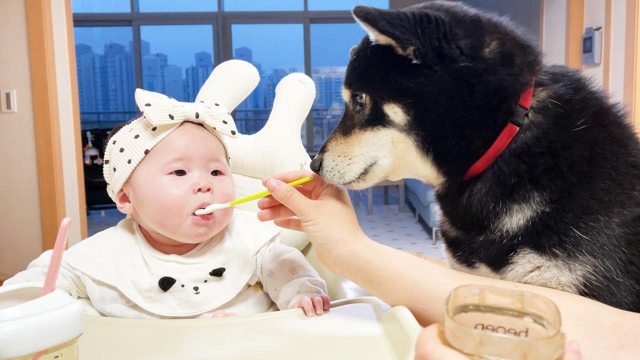 아기 이유식 뺏어 먹으려는 강아지ㅋㅋㅋ